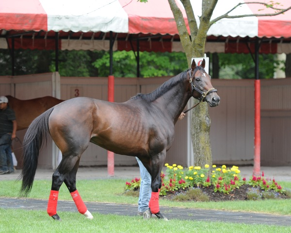 Whitney contender and Breeders Cup Classic winner Fort Larned schools in the paddock at Saratoga. (NYRA Photo)